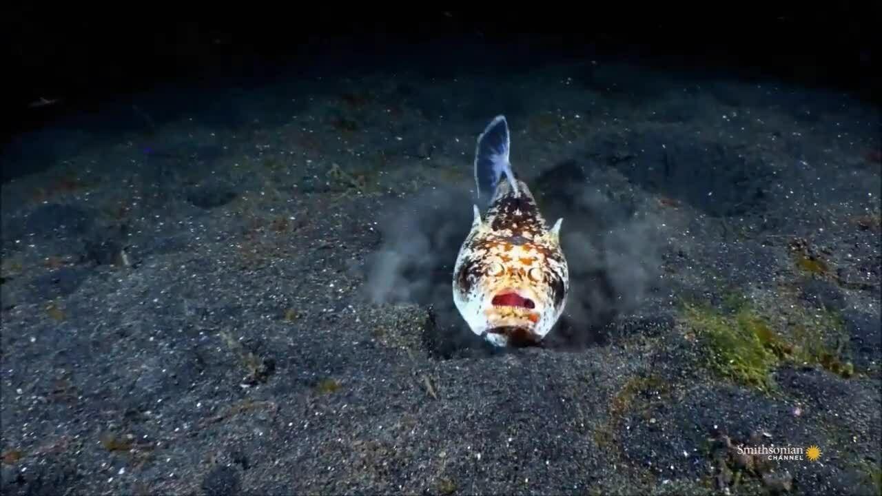 Cá sao vùi mình dưới cát đớp mồi nhanh như chớp
