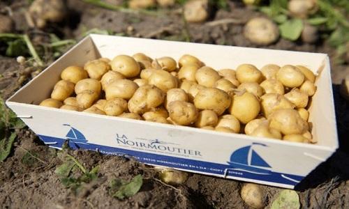 Loại khoai tây đắt nhất thế giới từng có giá 1.000 USD/kg