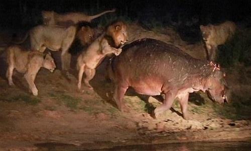 Hà mã bị thương vẫn đánh bại 5 con sư tử