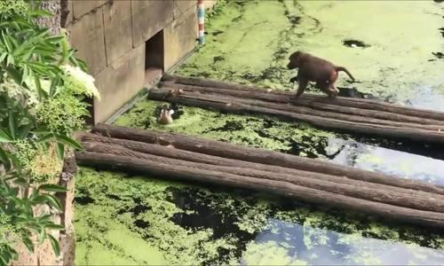 Khỉ đầu chó bắt con non ăn thịt trước mặt vịt mẹ
