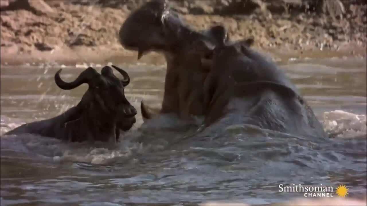 Cá sấu vật lộn dìm chết linh dương đầu bò trên sông