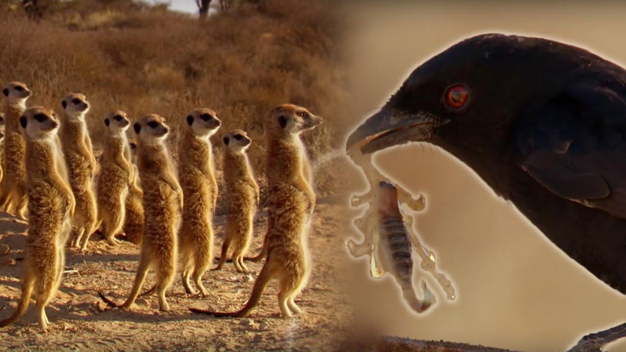 Chèo bẻo - kẻ bịp bợm trong thế giới tự nhiên