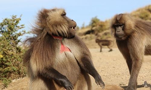 Khỉ đầu đàn trả giá đắt khi dùng con non đối phó tình địch