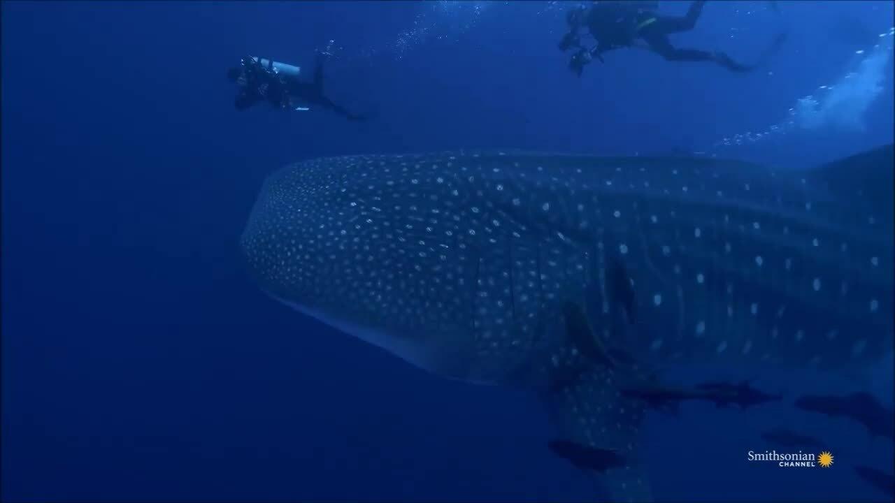 Cách kiếm ăn của loài cá lớn nhất đại dương