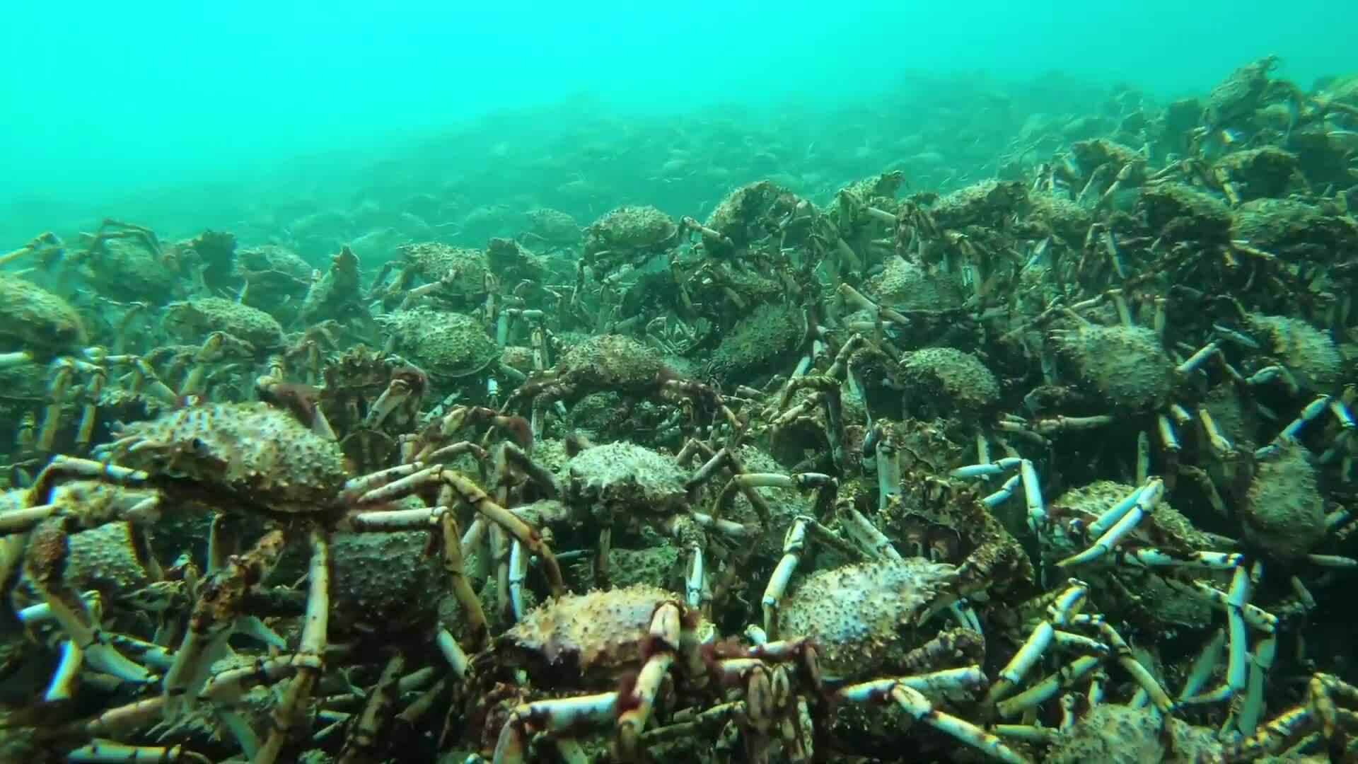 Hàng nghìn cua nhện khổng lồ tụ tập thay vỏ ở vịnh Australia