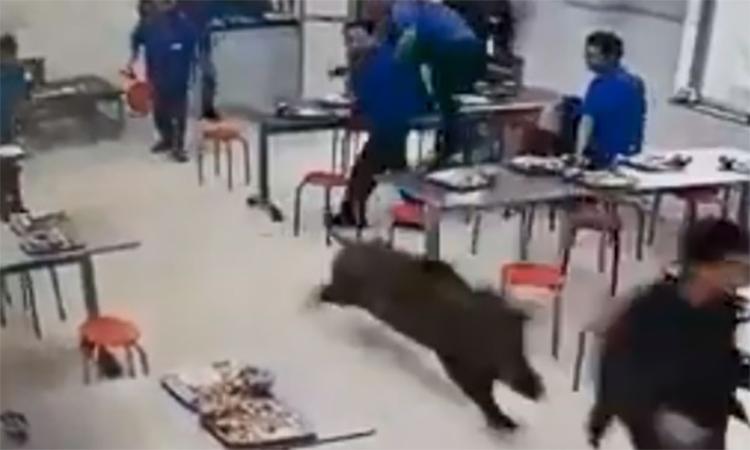 Lợn rừng náo loạn nhà ăn công nhân tại Trung Quốc