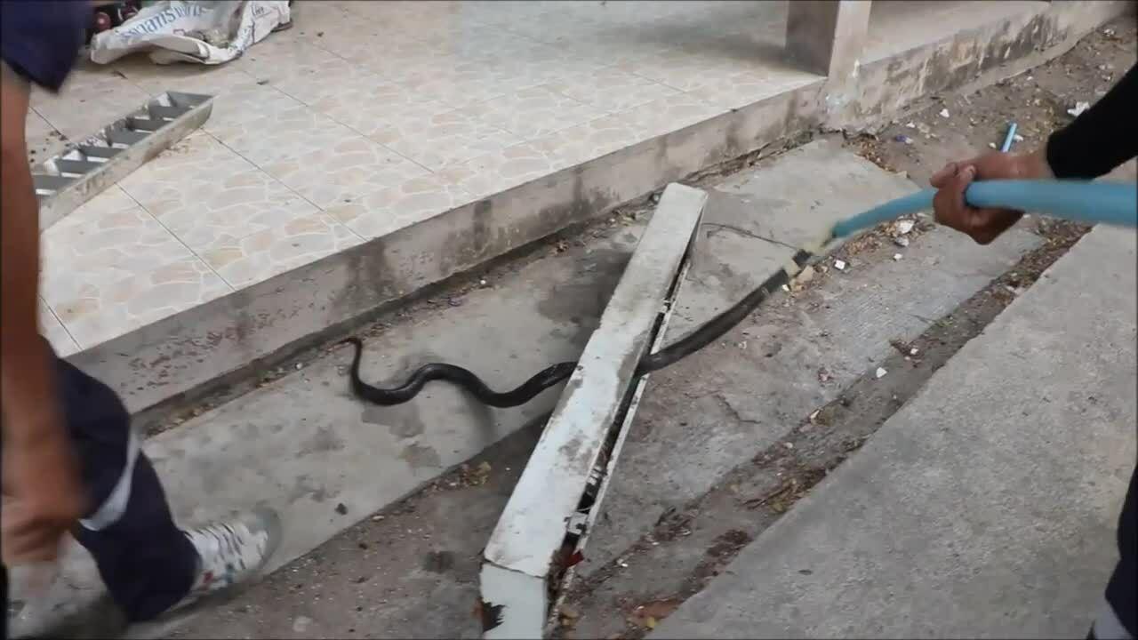 Giải cứu rắn hổ mang mắc kẹt trong bãi rác ở Thái Lan