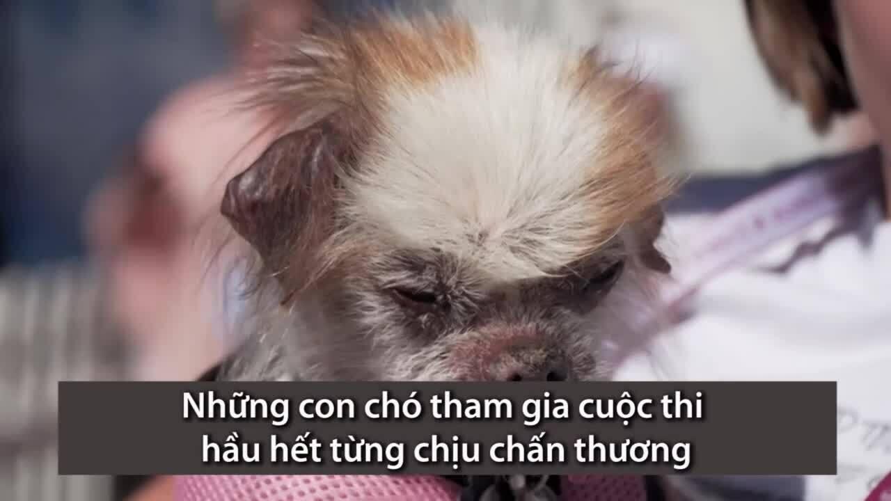 Cuộc thi chú chó xấu nhất thế giới ở Mỹ