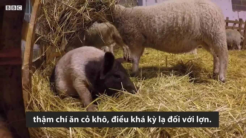 Lợn con ăn cỏ khô và thích sống chung với cừu