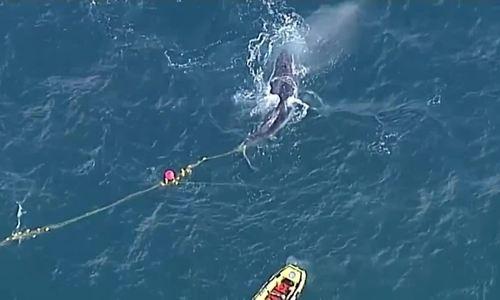 Cá voi dài 9 m mắc lưới đánh cá ở ngoài khơi Australia