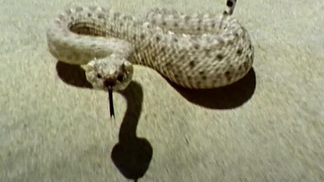 Cách rắn sừng đuôi chuông di chuyển trên nền cát sa mạc