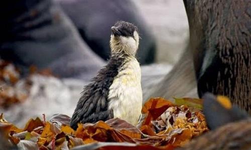 Chim non suýt bị hải cẩu nặng gấp 40 lần đè chết