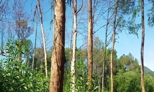 Rừng thông cổ thụ quanh lăng vua Gia Long bị kẻ gian bóc vỏ