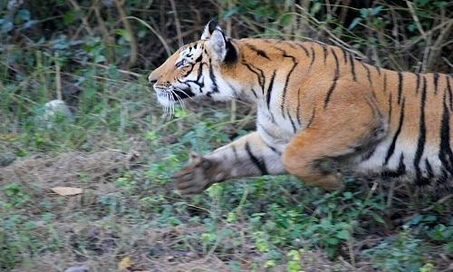 Hổ áp sát vồ người đi xe máy trong khu bảo tồn Ấn Độ