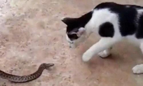 Mèo kịch chiến chặn rắn hổ mang bò vào nhà chủ