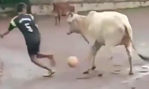 Con bò giữ bóng chắc hơn cả siêu sao bóng đá
