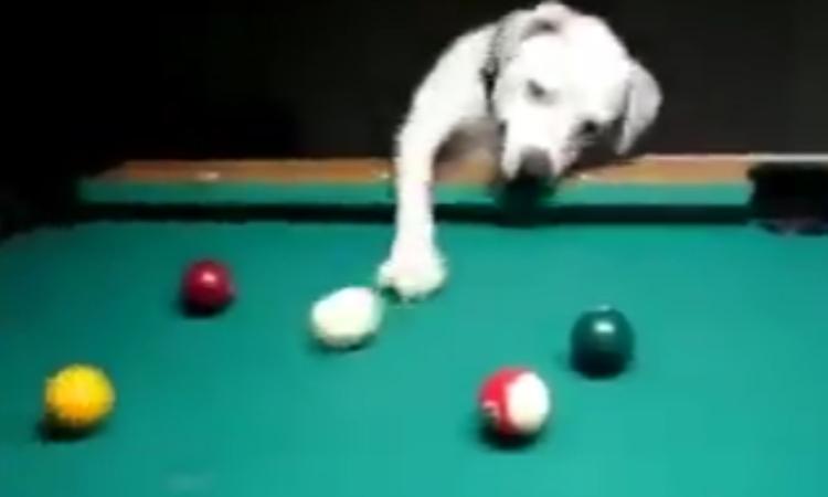Chú chó đánh bi-a như cơ thủ chuyên nghiệp
