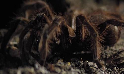 Loài nhện lớn nhất thế giới độc gấp 15 lần rắn đuôi chuông