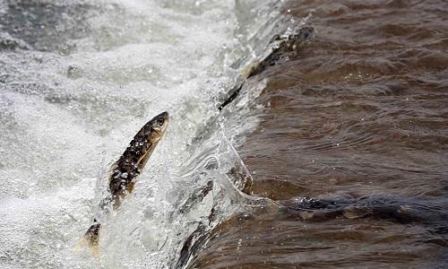 Cá chép không vảy bơi ngược dòng để đẻ trứng ở hồ Thanh Hải