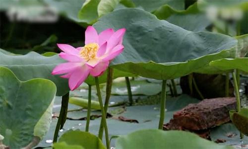 Hoa sen nở từ hạt giống 100 năm tuổi ở Trung Quốc