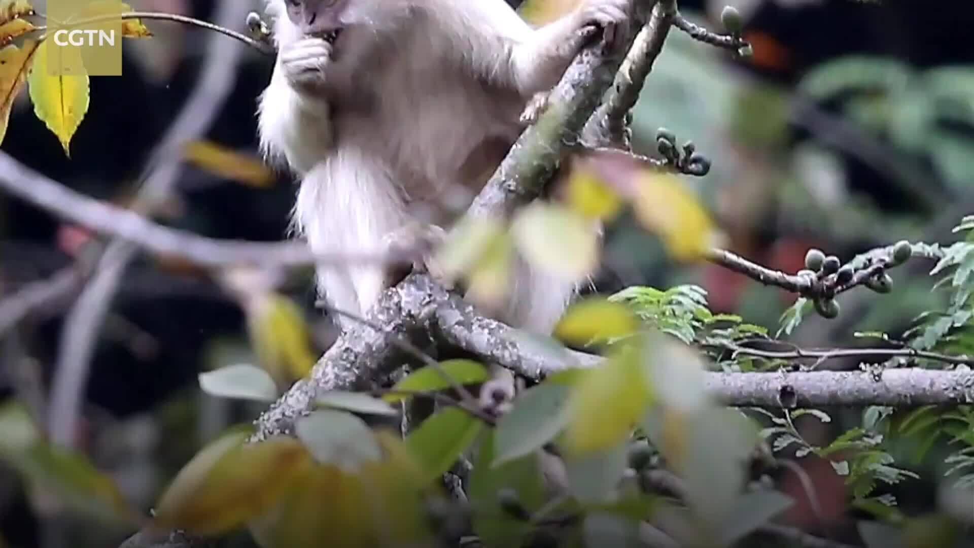 Voọc đen má trắng bạch tạng hiếm gặp tại khu bảo tồn Trung Quốc