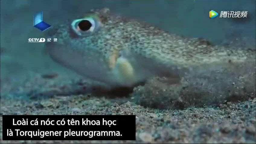 Cá nóc xây tổ hình hoa hướng dương để thu hút bạn tình
