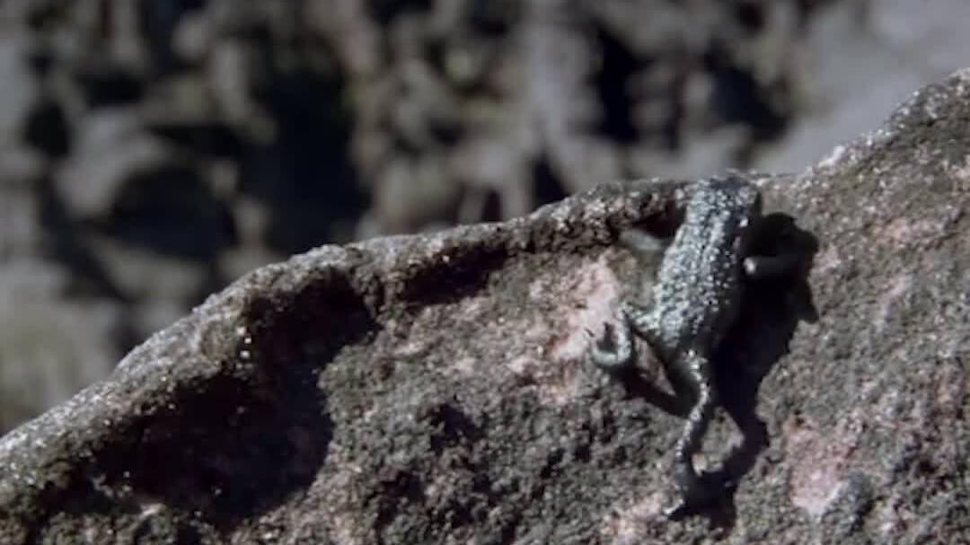 Cóc cuội lăn tự do xuống vách đá để chạy trốn nhện săn mồi
