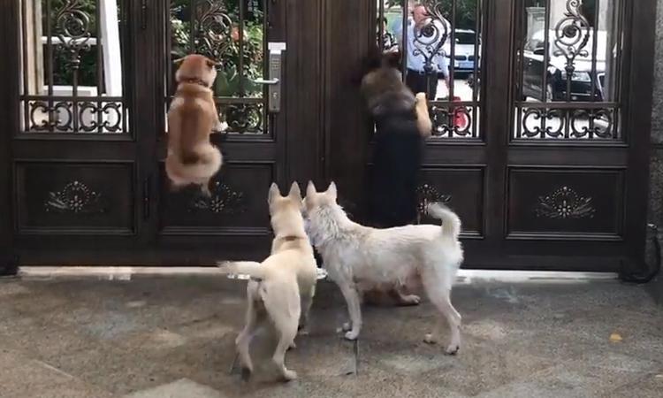 Đàn chó nhảy cẫng ăn mừng khi thấy chủ về
