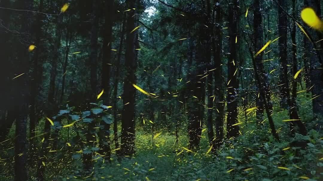 Đom đóm cứu những cánh rừng tự nhiên ở Mexico