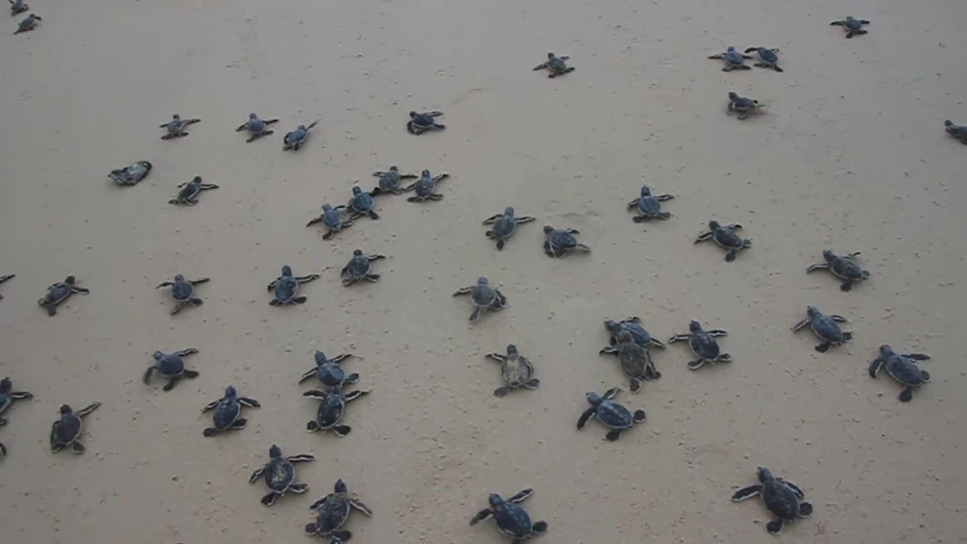 Hành trình Hội An xin 2.000 trứng rùa Côn Đảo