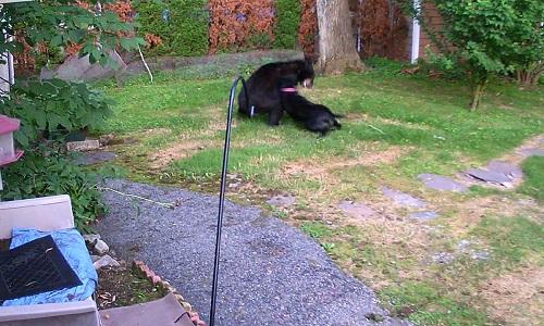 Chó đuổi gấu đột nhập vào nhà hàng xóm