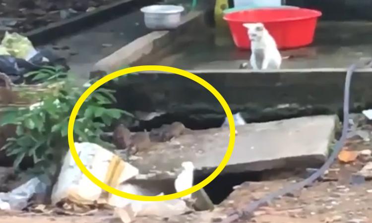 Con mèo bất lực đứng nhìn lũ chuột lộng hành