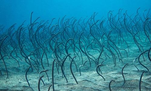 Loài cá chình uốn mình như móc câu dưới đáy biển
