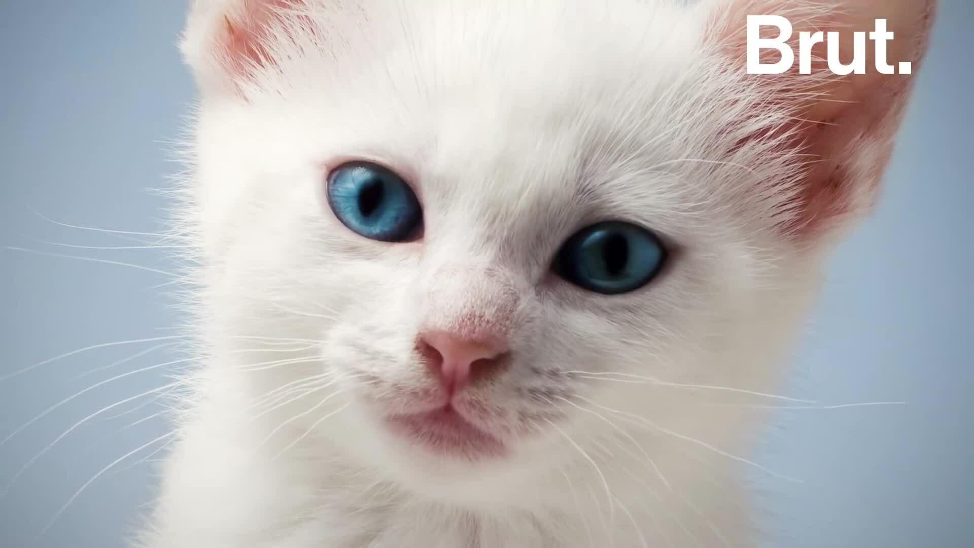 Mèo lông trắng, mắt xanh có nguy cơ cao bị điếc