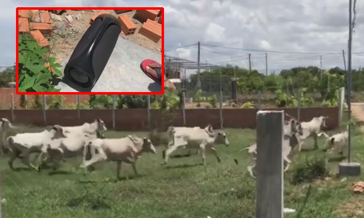Đàn bò chạy thục mạng vì tiếng sư tử