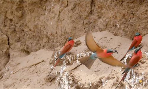 Loài chim chuyên đập nát vòi ong để ăn thịt