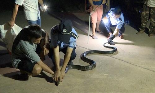 Hổ mang chúa dài hơn 3 mét mò vào làng trộm gà