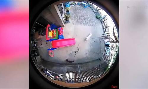 Chó liều mạng ngăn rắn hổ mang mò vào phòng em bé