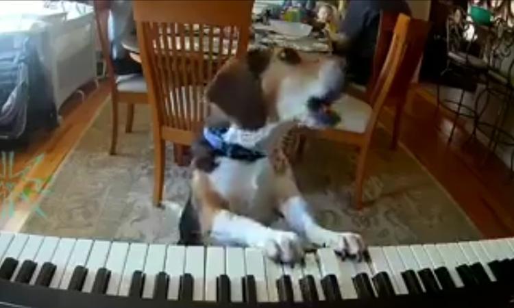 Chú chó vừa đánh đàn, vừa hát
