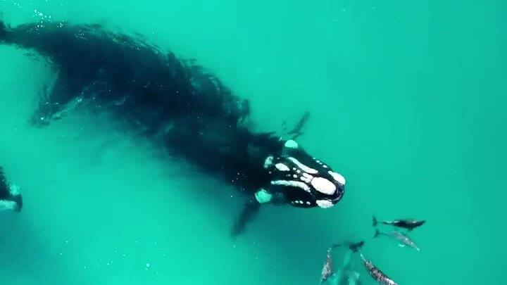 Cá heo thoải mái bơi đùa cùng đàn cá voi trơn phương nam