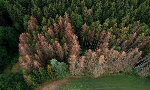 Cây rừng chết dần do nắng nóng ở Đức