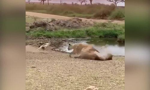 Linh dương nhanh trí thoát khỏi móng vuốt sư tử