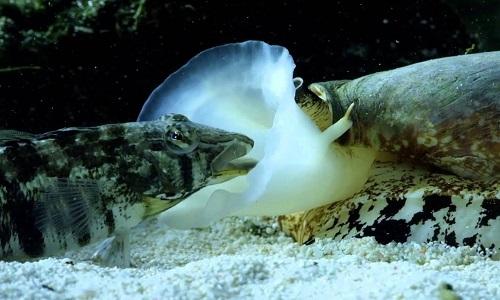 Ốc nón - sát thủ đại dương nuốt chửng cá trong vài giây