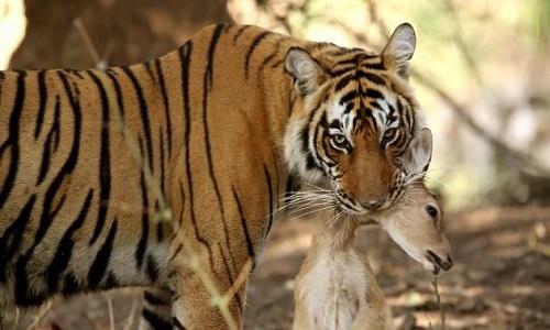 Xâm phạm lãnh thổ, hổ Bengal bị đồng loại đánh cảnh cáo