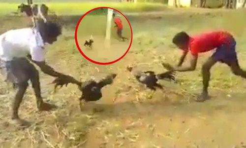 Chàng trai bị gà chọi đuổi chạy trối chết