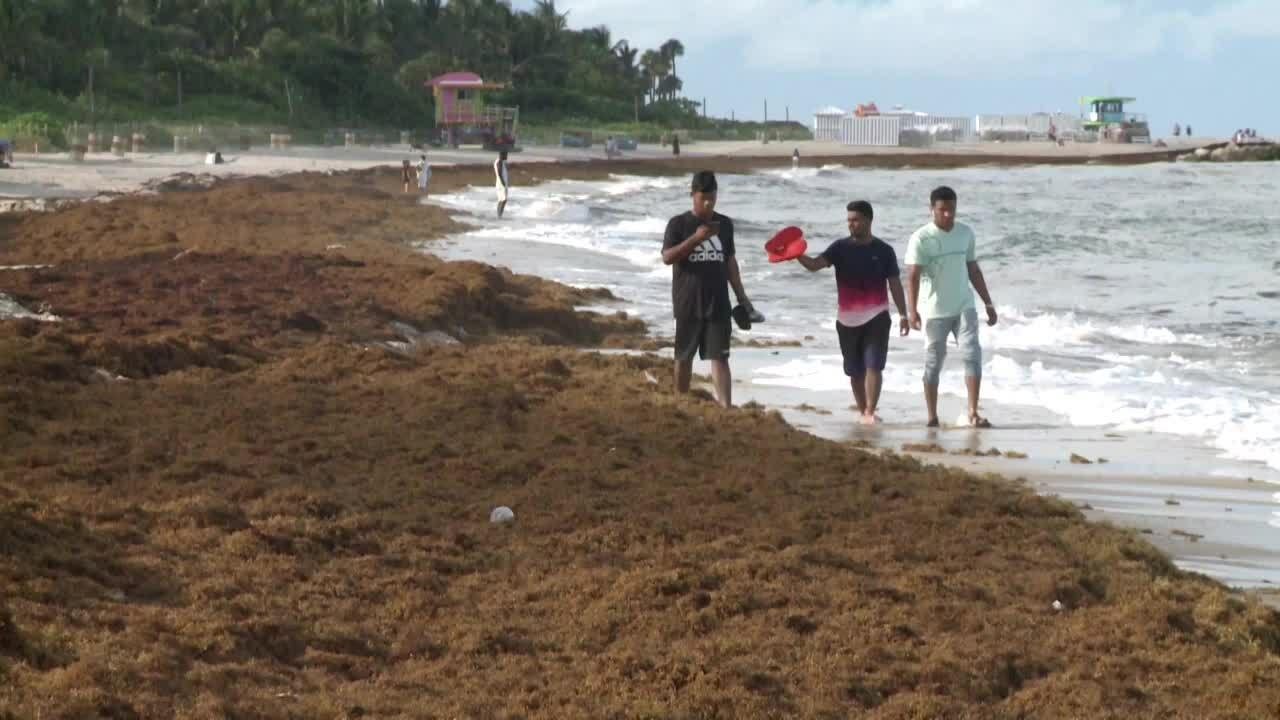 Rong biển bốc mùi trứng thối xâm lấn bãi biển châu Mỹ