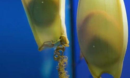 Những hình thức đẻ trứng đặc biệt của cá mập