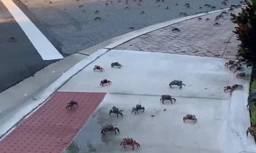 Hàng trăm con cua lũ lượt bò qua đường phố Mỹ