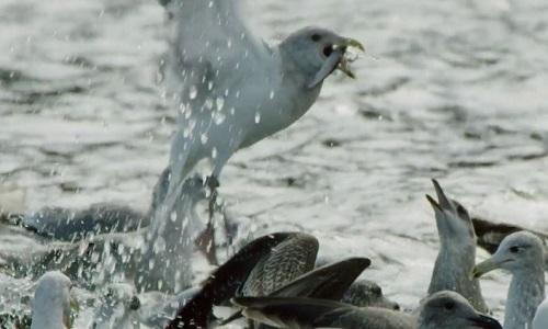 Chim guillemot gom đàn cá trích biếu không mòng biển