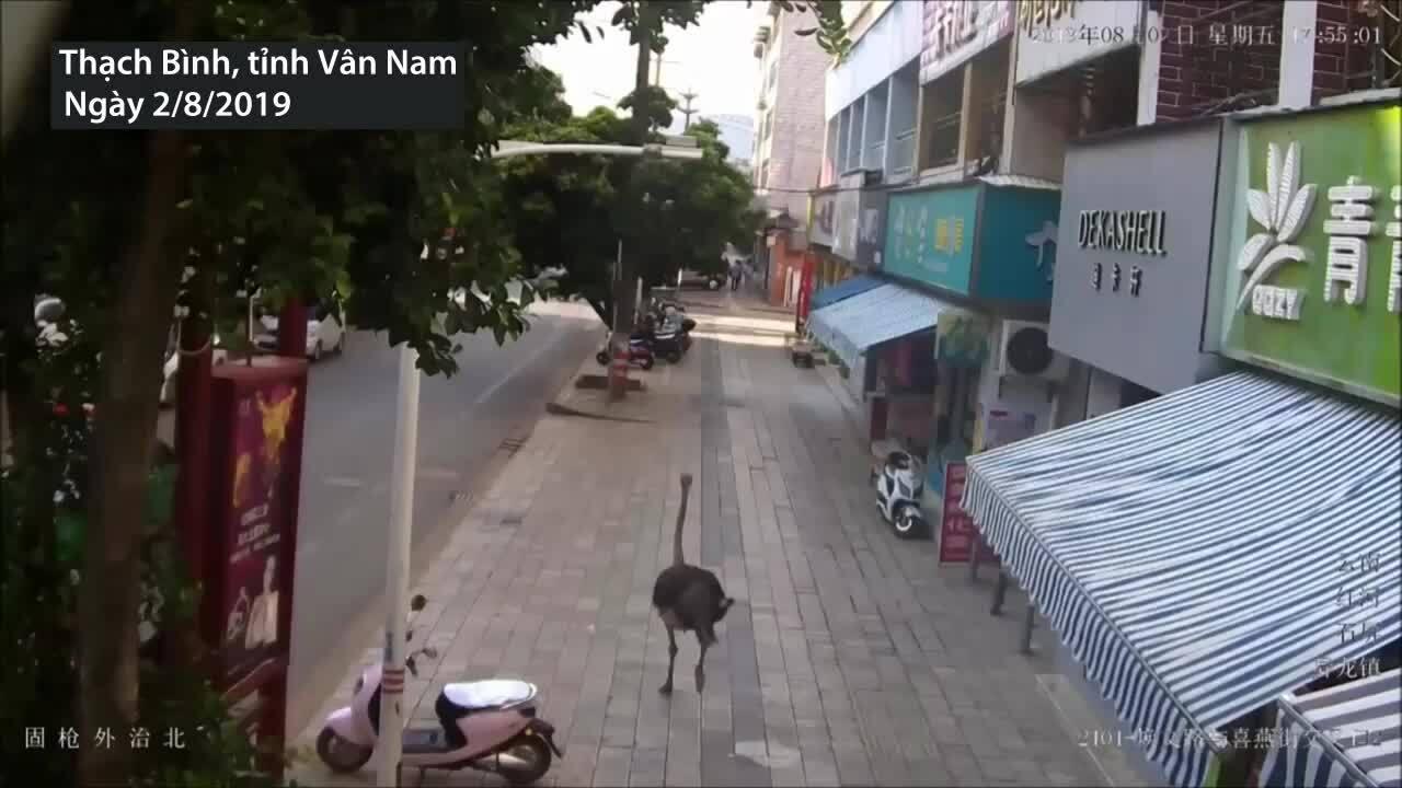 Đà điểu chạy giữa đường phố Trung Quốc gây hỗn loạn